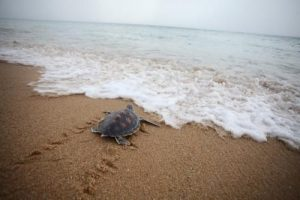 turtles_mai_khao_beach